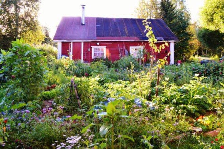 Hunajakukissa vieraileva kimalainen on elintärkeä puutarha-apulainen.