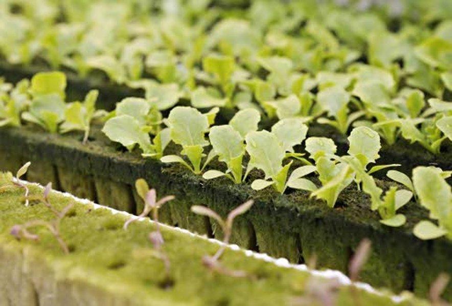 Salaattien tuotanto jatkuu tasaisena ympäri vuoden. Kuva: Kauppapuutarhaliitto.