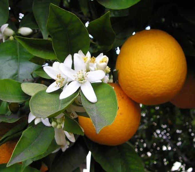 Appelsiinipuun kukkien terälehdistä saadaan eteeristä neroli-öljyä.