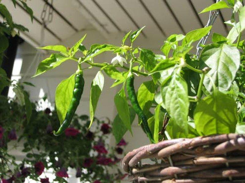 Heidin ja aviomiehensä omakotitalon 2000 neliön tontin puutarha kasvihuoneineen pursuaa kukkia, yrttejä, vihanneksia ja hedelmiä.