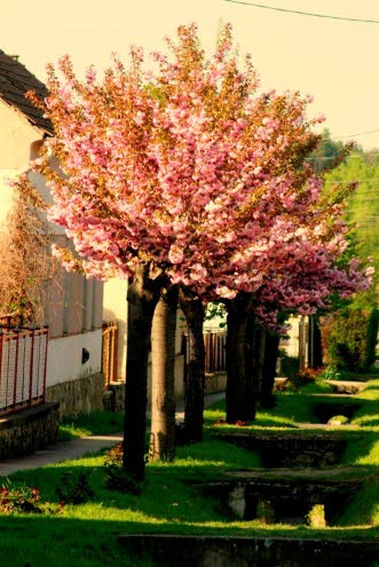 Unkarissa monet hedelmäpuut kukoistavat puutarhoissa. Kuvassa kirsikka kukkii.