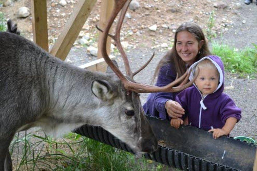 """Puolitoistavuotias Sakari ruokkii äitinsä Heidi Huupposen kanssa Salama-poroa. Salaman sarvet """"kuoriutuvat"""" parhaillaan."""