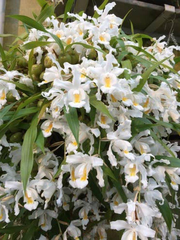 Lumikuningatar-orkidea on kotoisin Himalajan vuoristolaaksosta.