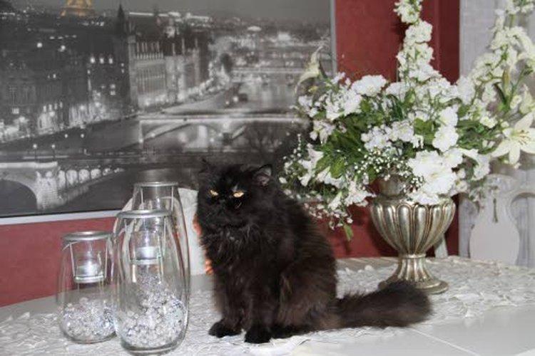 Leevi Marjatta rakastaa kauneutta. Kukkien keskellä rokokoo-pöydällä on yksi sen lempipaikoista. Taustalla olevasta taulusta siintää Eiffel-torni muotia ja kauneutta rakastavien kaupungista, Pariisista.