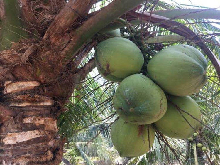 Kookospähkinän kuoren sisälle alkaa kertyä maukasta ja luonnostaan ravinteikasta kookosvettä noin 3 kuukauden kuluttua siitä, kun vihreä kookospähkinän alku on alkanut kasvaa palmussa. Kookosvesi kerätään tavallisesti 7-9 kuukauden ikäisistä nuorista, vihreistä kookospähkinöistä.
