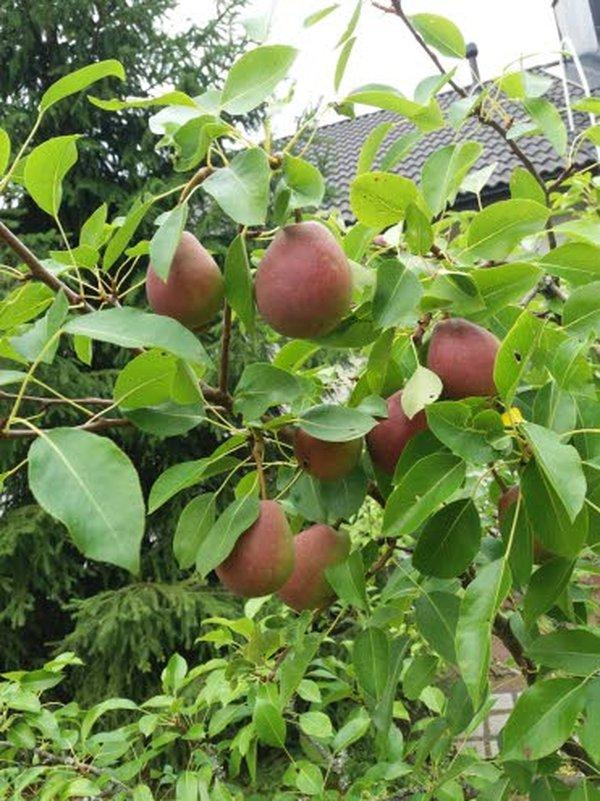 Jutun kuvina olevat kuvat ovat Heidi Tammisen puutarhan satoa tältä kesältä.