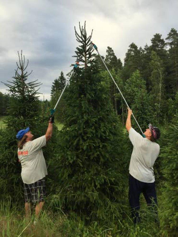 Olli Ojala ja Kai Putkonen ovat istuttaneet käsipelillä istutusputken avulla Hämeen alueella muutamalle peltohehtaarille Juhlapuu Oy:lle omia joulukuusentaimia. Kuusentaimet istutetaan yleensä noin 1,5 metrin välein.
