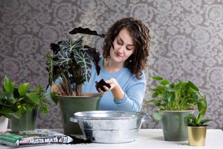 Sopiva mullanvaihtoaika huonekasveille koittaa helmikuun lopulla, ja koko maaliskuu on erinomaista mullanvaihtoaikaa. Valon lisääntyessä kasvi alkaa kasvaa: uusia lehtiä pukkaa, ja mullanvaihto tulee silloin ajankohtaiseksi.