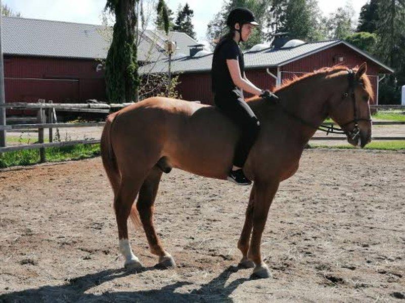Tämän kesän aikana Villijäbällä ajetaan jo muutama startti. Villijäbä soveltuu myös ratsastukseen. Virpi Juurinen ja hänen 13-vuotias tyttärensä (kuvassa) ratsastavat sillä säännöllisesti.