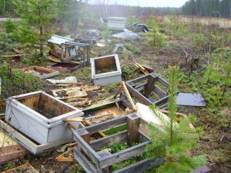 Ammattitarhaajat menettävät kerralla useita pesiä, kun karhu käy vierailulla mehiläistarhalla. Kennostot ovat karhujen jäljiltä tyhjät. Vaikka niissä olisikin jäljellä hunajaa, ei se ole enää ihmisravinnoksi kelpaavaa.