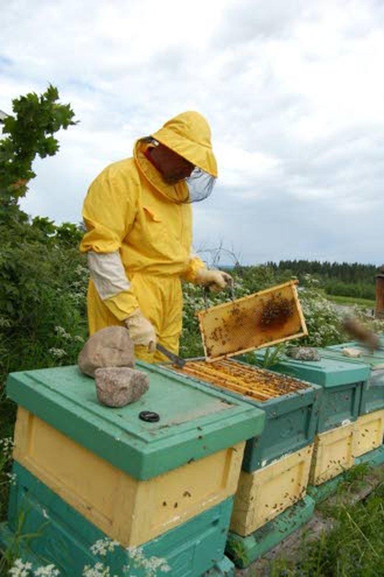 Markku Puumalainen tarkistamassa mehiläispesiä.